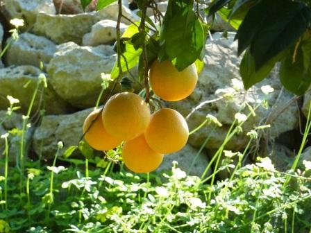 Azienda Agricola Limoneto | Arance biologiche